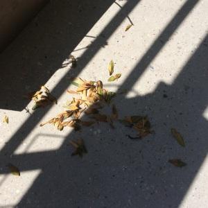 feuilles-mortes-polygala