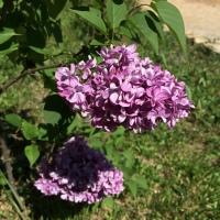 lilas-violet