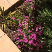 oxalis-fleuri