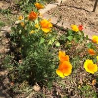 pavot fleuri
