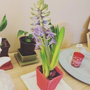 jacinthe en cours de floraison