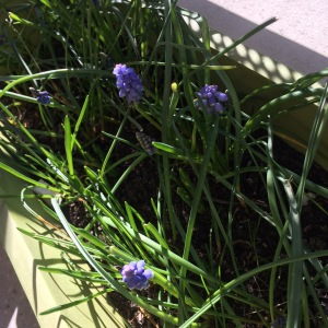 premieres-fleurs-muscaris